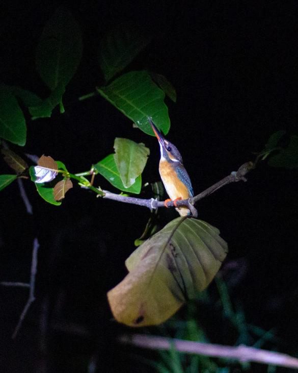 Kinabatangan River tour kingfisher