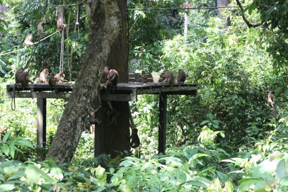 sepilok urangutan feeding macaques